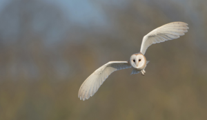 Barn Owl flying in Worcestershire