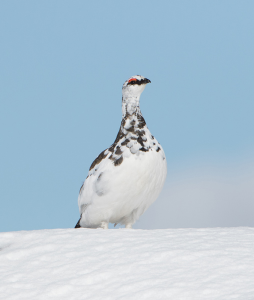 Ptarmigan in the snow (3)