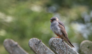 Red-footed Falcon on posts Staffordshire