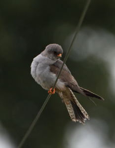 Red-footed Falcon on wire Staffordshire