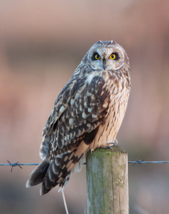 Short-eared Owl at Worlaby