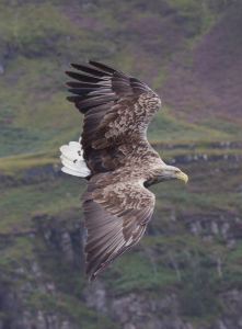 White-tailed Eagle diving