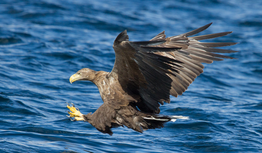 White Tailed Eagle Catching Fish By Pete Walkden The Birders Store
