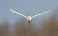 Barn Owl in flight Worcestershire