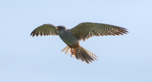Red-footed Falcon in flight Staffordshire